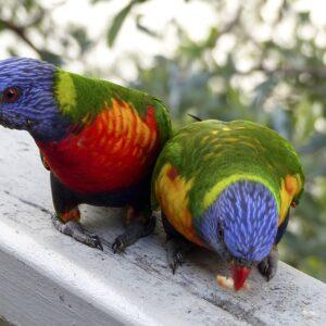 Karmienie papug australijskich