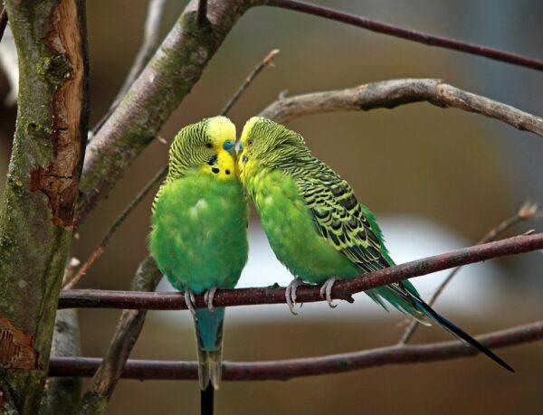 mieszanka dla papużki falistej