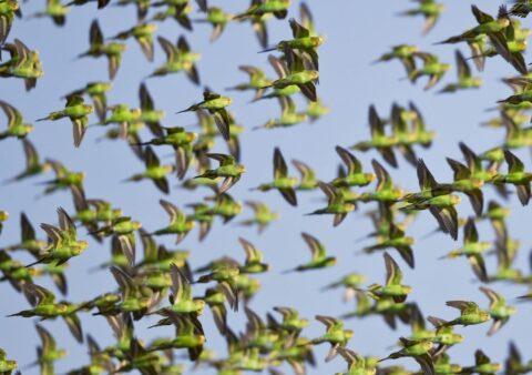 Papużki faliste w australii